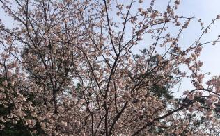 ひと足早く開いた大寒桜(筆者撮影)