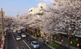 桜は街路樹として人気が高い(東京・中野)