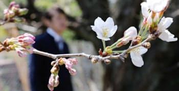 開花したソメイヨシノ(28日、名古屋市千種区の名古屋地方気象台)