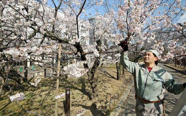 通り抜けに向けて桜を管理する専属の渡辺さん(3月24日、大阪市北区)