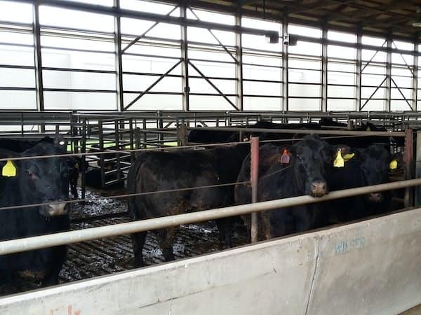生牛の出荷は夏場に増えやすい