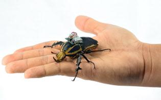 AIを使った「昆虫サイボーグ」の研究が進む=シンガポール南洋理工大の佐藤裕崇助教授提供