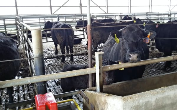 牛は1頭当たりおおむね1300~1400ポンドで出荷される