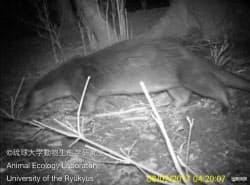 長崎県・対馬で2月に赤外線カメラで撮影されたカワウソ=琉球大動物生態学研究室提供・共同