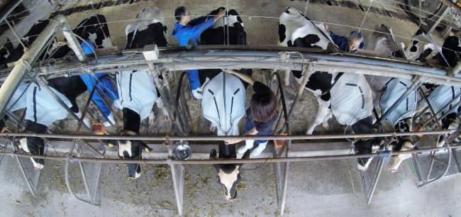 ウエアラブル端末「ウシブル」を装着した乳牛が並ぶ(京都府綾部市の京都府畜産センター)=牛舎天井の隙間からアクションカメラで撮影