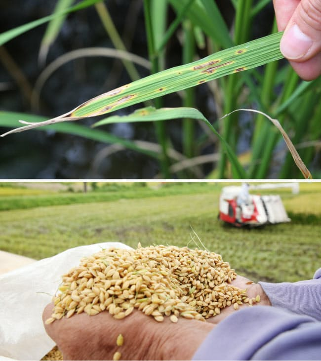 病虫害の被害が出た稲(写真上)。ドローンを活用して栽培の省力化を目指す。写真下は収穫された酒米「兵庫北錦」