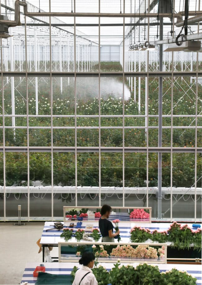 バラ栽培を手がけるクニエダは1月、オランダ企業の環境制御システムを導入した温室を完成させた。温度や湿度、日射量などをコンピューターで24時間管理する(滋賀県守山市)