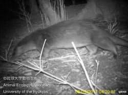 長崎県・対馬で2月に赤外線カメラで撮影されたカワウソ(琉球大動物生態学研究室提供)