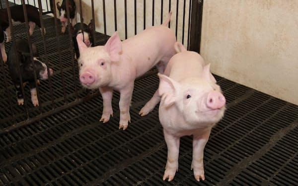 豚の出荷のピークは秋から年末にかけてと、春先3月の年2回ある