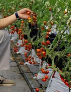 ミニトマトの収穫体験ができる農園は珍しい(大阪府和泉市)