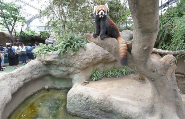 レッサーパンダがお気に入りの場所は擬木の上。幹の根元も擬土だ