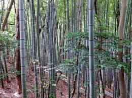 里山の雑木林に侵入していく竹林(神奈川県逗子市)=東北大の中静透教授提供