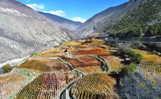 標高約2600メートルの山あいに広がるブドウ畑。収穫を終え、葉が赤や黄に染まる(中国雲南省迪慶蔵族自治州徳欽県阿東村)=山口朋秀撮影