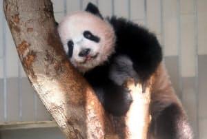 ジャイアントパンダのシャンシャン(18日、東京都台東区の上野動物園)=小幡真帆撮影