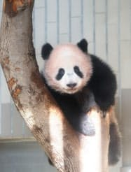 事前公開されたシャンシャン(18日、東京都台東区の上野動物園)