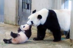 一般公開が始まったジャイアントパンダのシャンシャン(左)と母親のシンシン(19日午前、東京都台東区の上野動物園)=代表撮影
