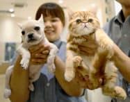 ペットショップで、店員に抱かれるフレンチブルドッグの子犬(左)とエキゾチックショートヘアの子猫(22日午後、東京都江東区のペッツファーストお台場店)=共同