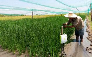 コロンビアでは、稲作の競争力強化のためにIoTを活用する(「イーカカシ」の実験風景。国際熱帯農業センター提供)