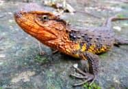 ベトナム北部の森にすむ新種のベトナムシナワニトカゲ(WWF提供)=共同