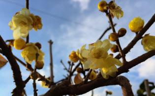 蝋梅(ロウバイ)の花を見ると、春のさきがけのような気になる