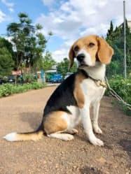 日本に初上陸するヒアリ探知犬のカビ=モンスターズアグロテック提供・共同