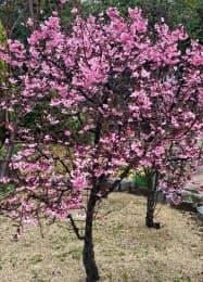 堺市が独自に開発した新品種の桜「与謝野晶子」
