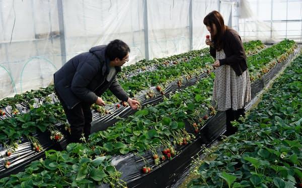 おいしそうなイチゴを探すのが楽しい(埼玉県秩父市のただかね農園)