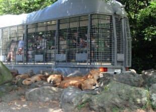 おなかがいっぱいになったライオンは肉があっても見向きもしない