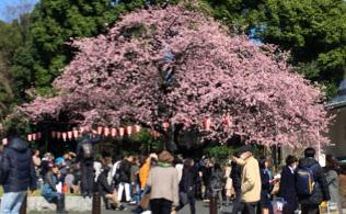 上野公園に咲くオオカンザクラ