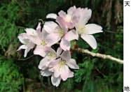 クマノザクラの花=2017年4月、三重県熊野市(森林総合研究所提供)
