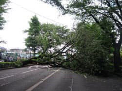 強風に耐えきれず倒れたソメイヨシノ(2011年5月、東京都国立市)