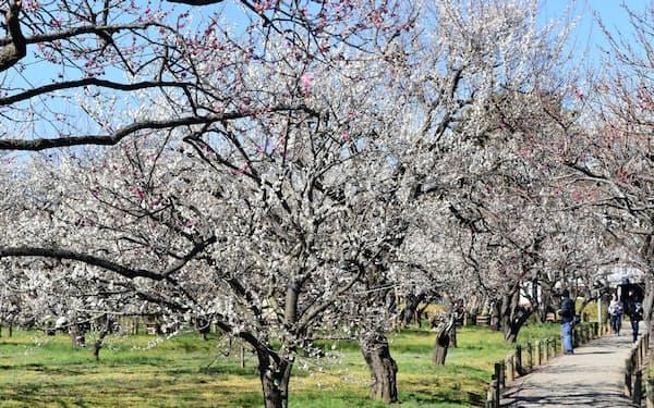水戸市の偕楽園で咲き開いた梅の花