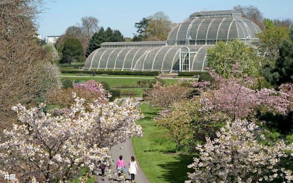 ロンドン郊外のキュー王立植物園にある桜並木(同植物園提供)=共同