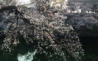 朝日を浴びる桜(東京都)