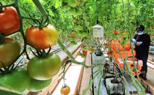 カゴメ直営の大規模トマトハウス。天井からぶら下がる温室内環境センサーが24時間データを収集する(福島県いわき市)=小園雅之撮影