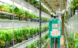 植物工場でのイチゴ栽培はまだ珍しい(静岡県藤枝市の日清紡HD藤枝事業所)