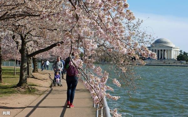 4日、見頃を迎えた米首都ワシントンの観光名所ポトマック川沿いの桜並木=共同