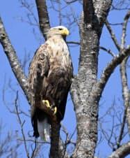 北海道・釧路湿原を流れる釧路川の木の上で、羽を休めるオジロワシ(17日、共同)