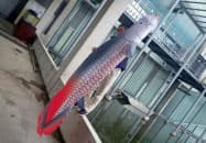 栃木県なかがわ水遊園に掲げられる「ピラルクーのぼり」
