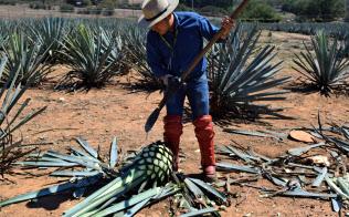 テキーラの原料となるブルーアガベの収穫はすべて手作業だ(テキーラ)