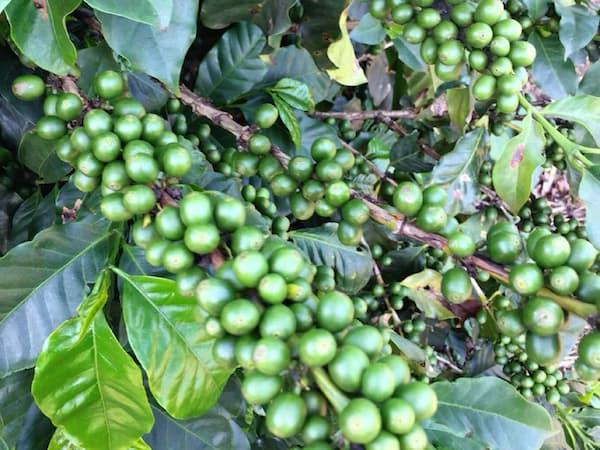 ブラジル産コーヒーは2018年の大豊作が確実視されている
