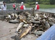 鹿児島県伊佐市の川内川で見つかった魚の死骸。上流に当たる宮崎県の長江川から流れてきたとみられている(伊佐市提供)=共同