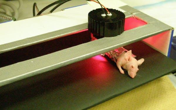 近赤外光と抗体でがん治療するマウス実験(米国立衛生研究所提供)