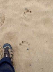 鳥取砂丘で発見されたツキノワグマの足跡(9日、鳥取市)=鳥取県提供、共同