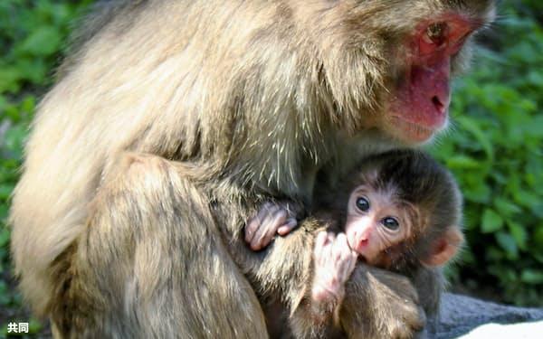 大分市の高崎山自然動物園で生まれ「ソダネ」と命名された雌の赤ちゃんザル(下、11日、同園提供)=共同