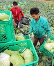 キャベツを収穫するインドネシアからの技能実習生(5月、茨城県茨城町)