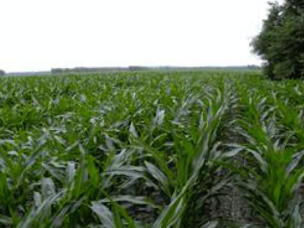 トウモロコシの相場は産地の天候にも大きく左右される(米ミズーリ州の畑)