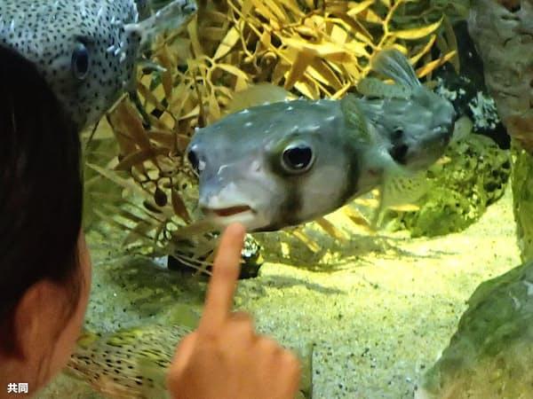 長崎県佐世保市の九十九島水族館「海きらら」で人気を集めているイシガキフグ「ギョ坊ちゃん」(共同、九十九島水族館提供)