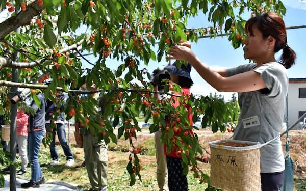 首都圏から収穫の手伝いに来た参加者も(山形県村山市の松原農園)