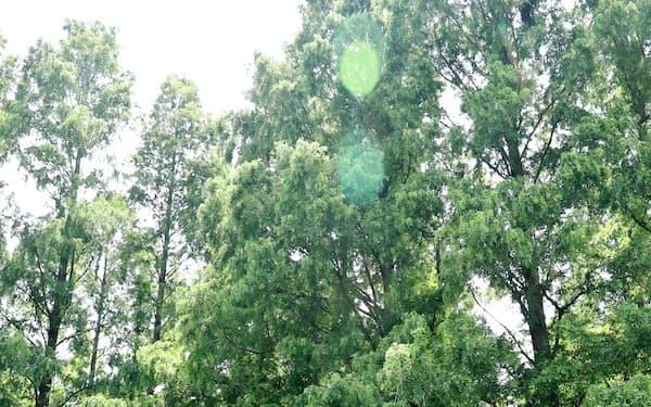 メタセコイアの巨木が林立する水元公園(東京都葛飾区)
